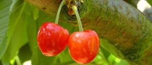 cherries-178148_350x150